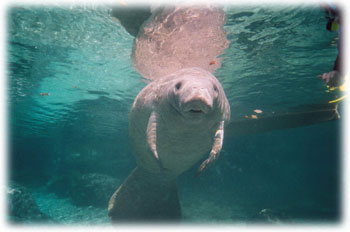 Manatees in Citrus County